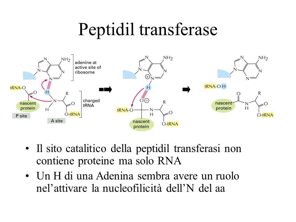 Peptidil transferase Il sito catalitico della peptidil transferasi non contiene proteine ma solo RNA Un H di una Adenina sembra avere un ruolo nelatti