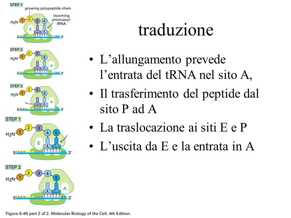 traduzione Lallungamento prevede lentrata del tRNA nel sito A, Il trasferimento del peptide dal sito P ad A La traslocazione ai siti E e P Luscita da