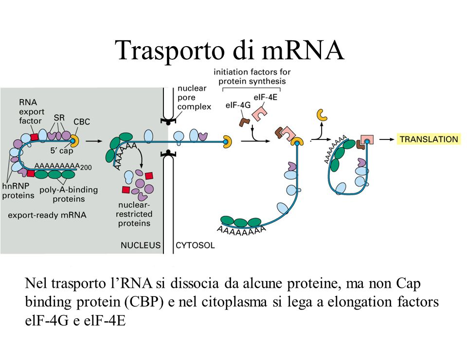 Trasporto di mRNA Nel trasporto lRNA si dissocia da alcune proteine, ma non Cap binding protein (CBP) e nel citoplasma si lega a elongation factors el