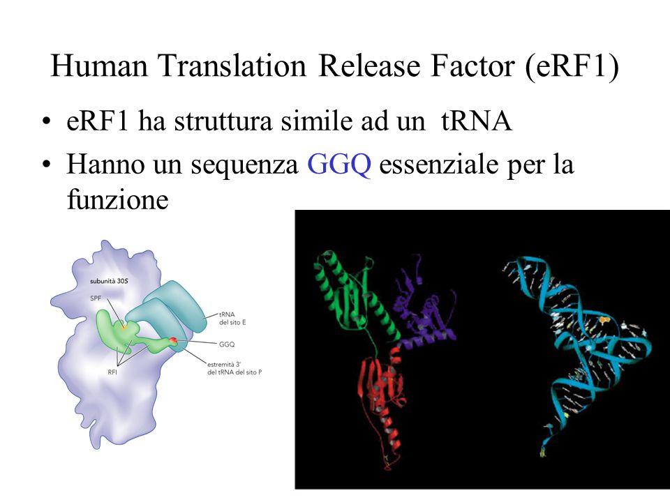 Human Translation Release Factor (eRF1) eRF1 ha struttura simile ad un tRNA Hanno un sequenza GGQ essenziale per la funzione
