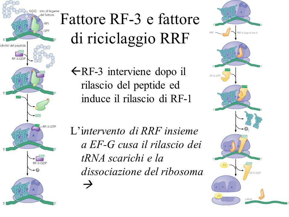 Fattore RF-3 e fattore di riciclaggio RRF RF-3 interviene dopo il rilascio del peptide ed induce il rilascio di RF-1 Lintervento di RRF insieme a EF-G