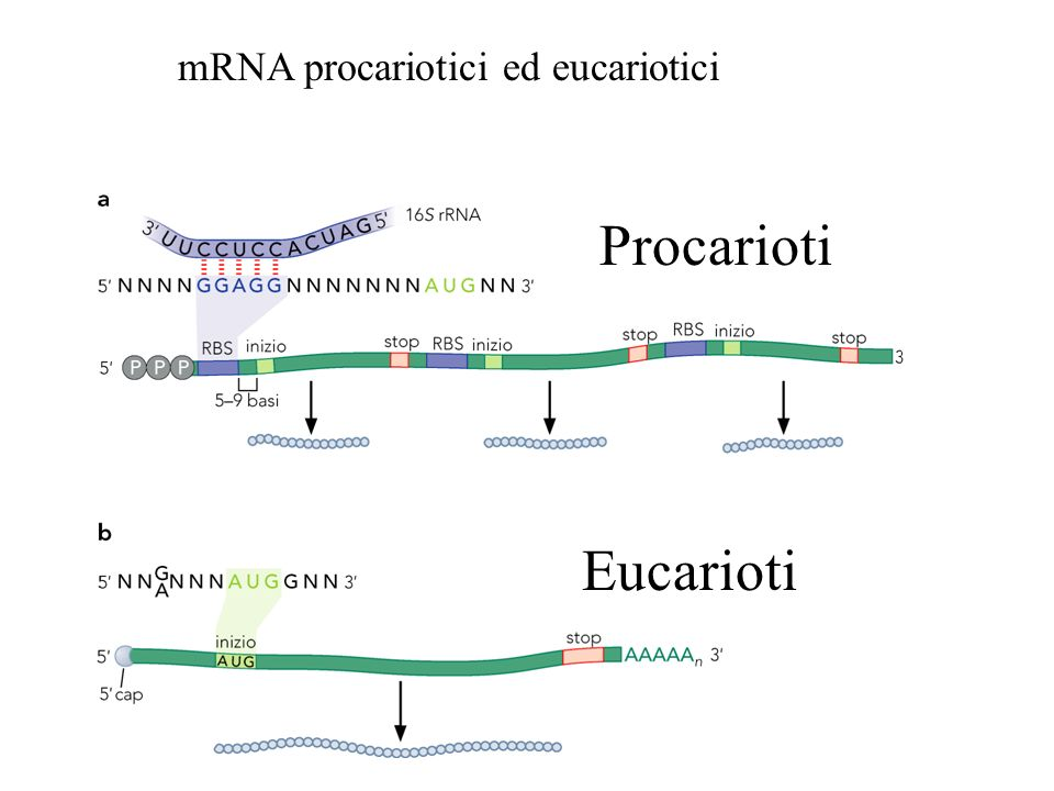 Procarioti Eucarioti mRNA procariotici ed eucariotici