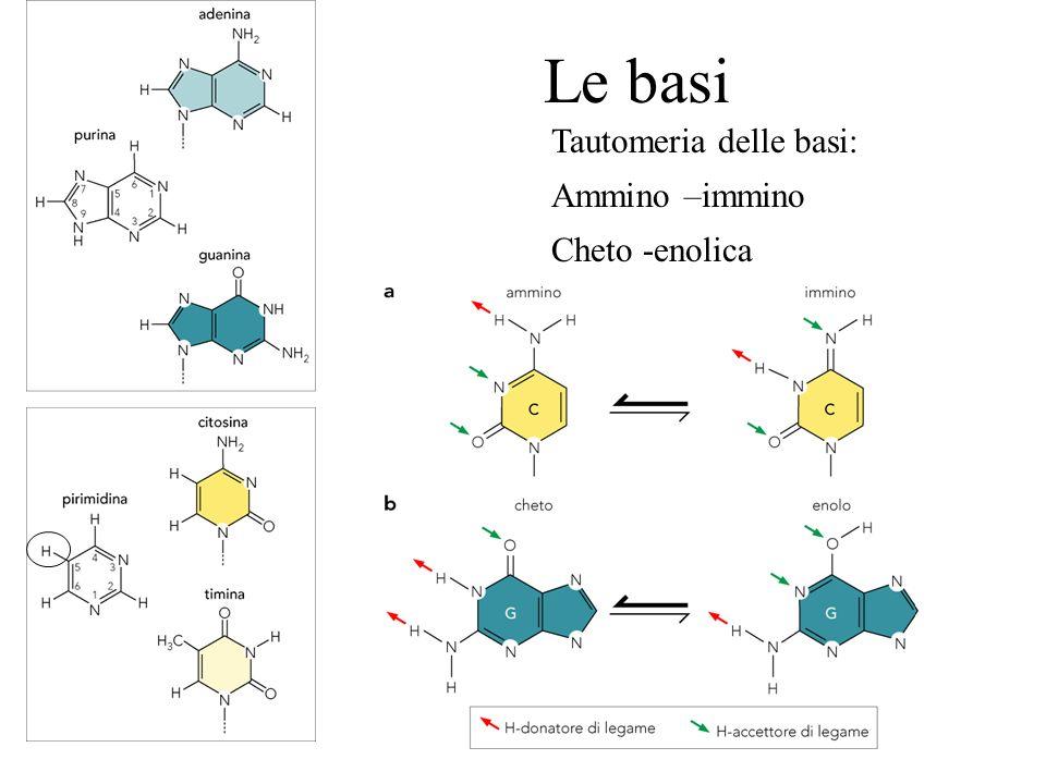 Le basi Tautomeria delle basi: Ammino –immino Cheto -enolica