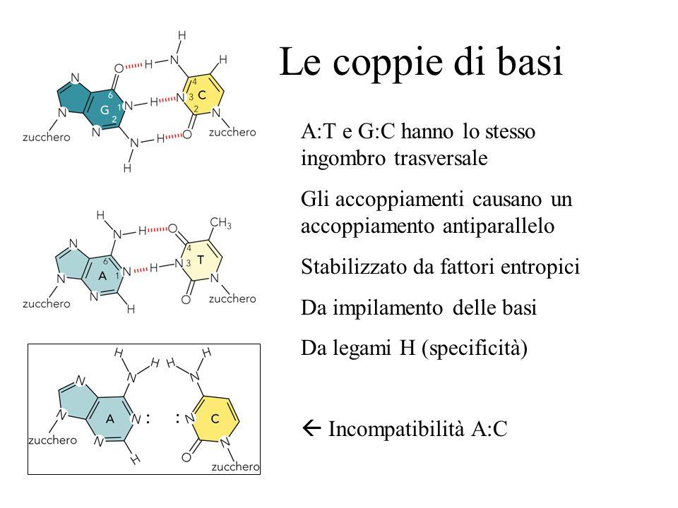 Le coppie di basi A:T e G:C hanno lo stesso ingombro trasversale Gli accoppiamenti causano un accoppiamento antiparallelo Stabilizzato da fattori entr