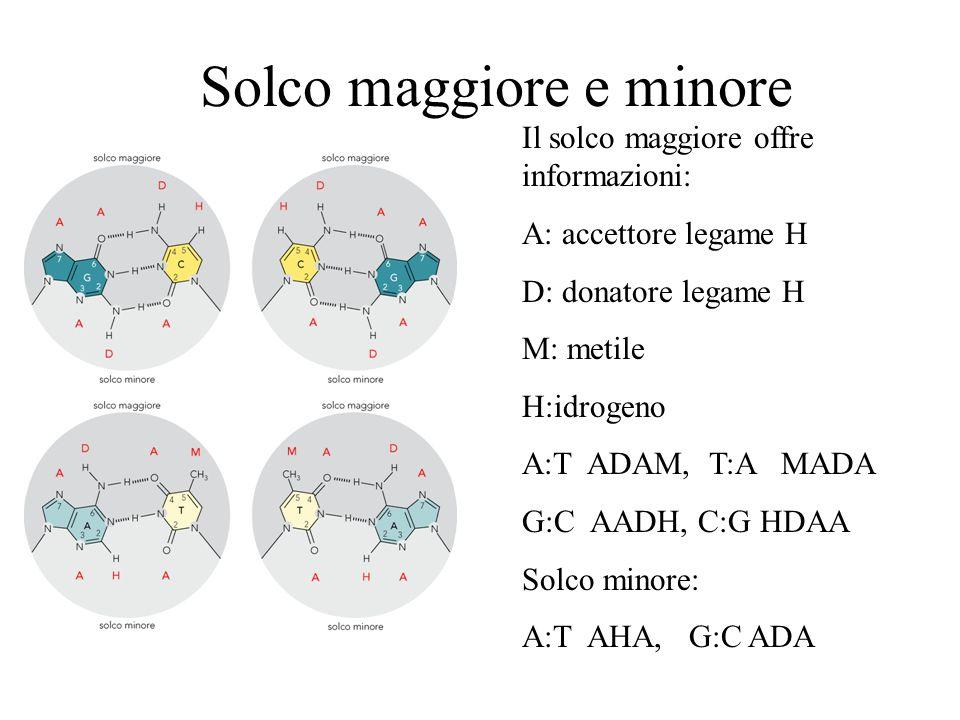 Solco maggiore e minore Il solco maggiore offre informazioni: A: accettore legame H D: donatore legame H M: metile H:idrogeno A:T ADAM, T:A MADA G:C A