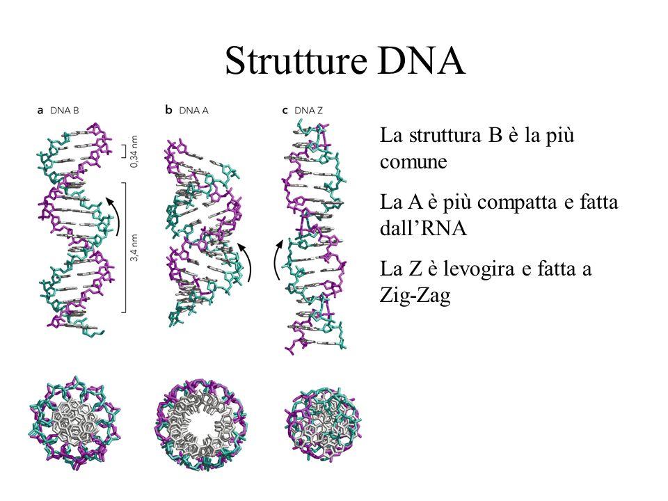 Strutture dna la struttura b è la più comune la a è più compatta e
