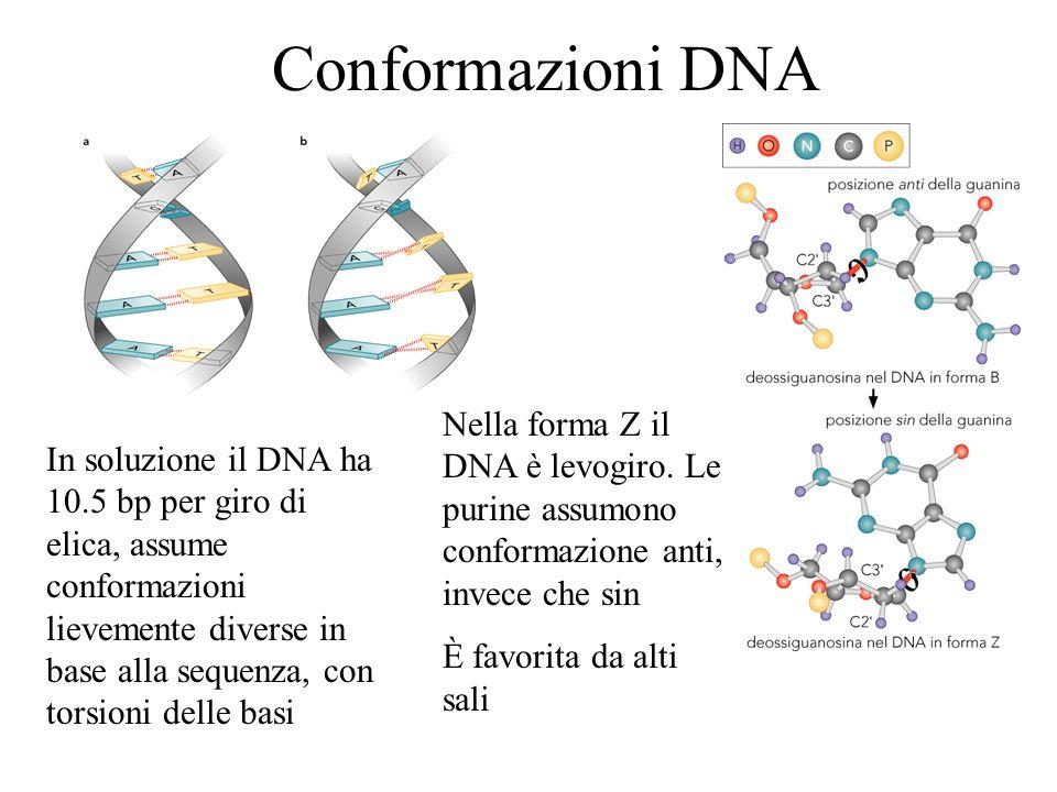 Conformazioni DNA In soluzione il DNA ha 10.5 bp per giro di elica, assume conformazioni lievemente diverse in base alla sequenza, con torsioni delle