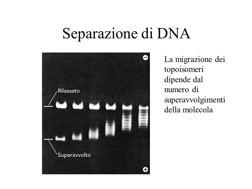 Separazione di DNA La migrazione dei topoisomeri dipende dal numero di superavvolgimenti della molecola