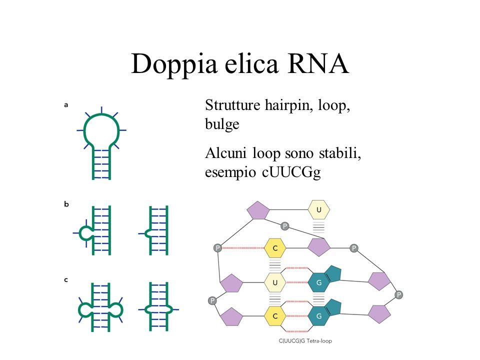 Doppia elica RNA Strutture hairpin, loop, bulge Alcuni loop sono stabili, esempio cUUCGg