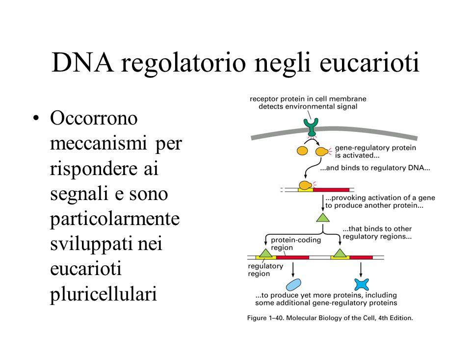 DNA regolatorio negli eucarioti Occorrono meccanismi per rispondere ai segnali e sono particolarmente sviluppati nei eucarioti pluricellulari