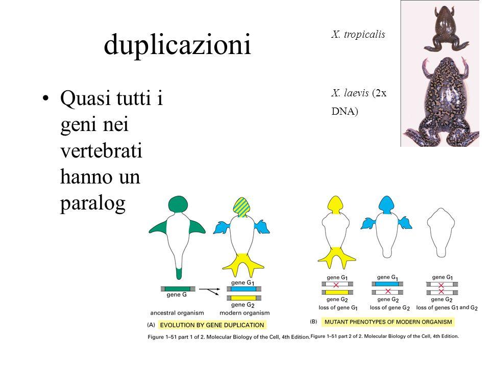 duplicazioni Quasi tutti i geni nei vertebrati hanno un paralog X. tropicalis X. laevis (2x DNA)