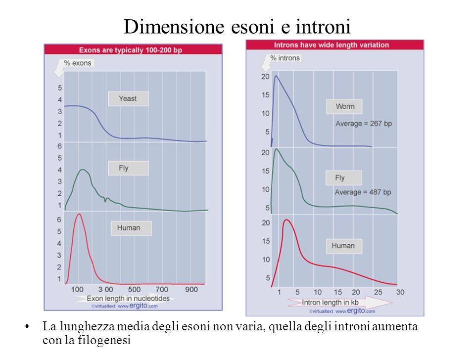 Dimensione esoni e introni La lunghezza media degli esoni non varia, quella degli introni aumenta con la filogenesi