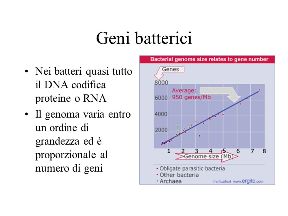 Geni batterici Nei batteri quasi tutto il DNA codifica proteine o RNA Il genoma varia entro un ordine di grandezza ed è proporzionale al numero di gen