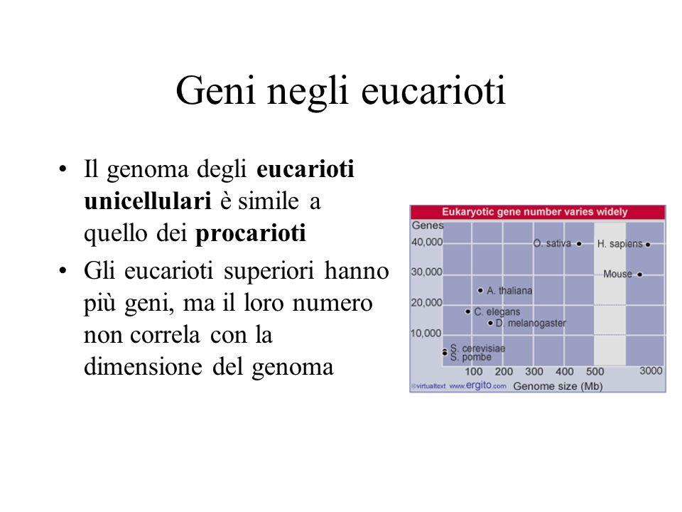 Geni negli eucarioti Il genoma degli eucarioti unicellulari è simile a quello dei procarioti Gli eucarioti superiori hanno più geni, ma il loro numero