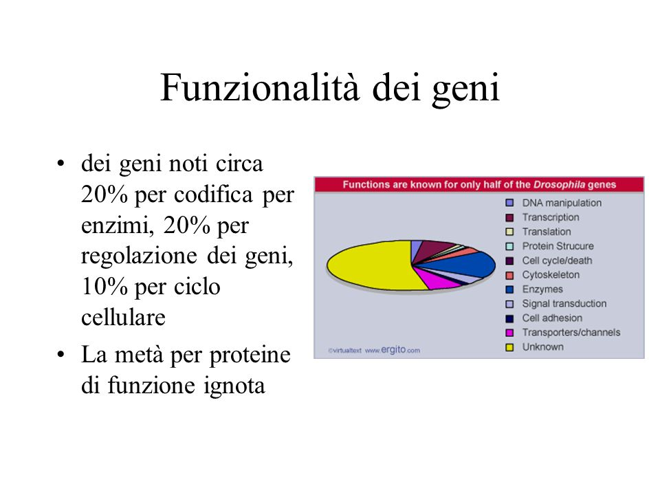 Funzionalità dei geni dei geni noti circa 20% per codifica per enzimi, 20% per regolazione dei geni, 10% per ciclo cellulare La metà per proteine di f
