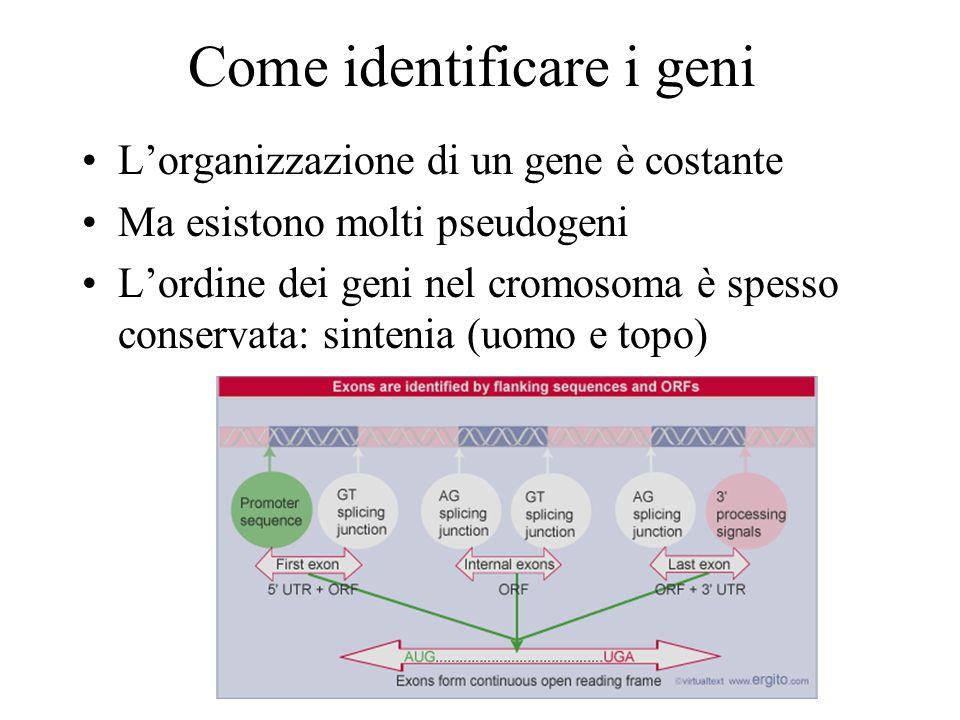 Come identificare i geni Lorganizzazione di un gene è costante Ma esistono molti pseudogeni Lordine dei geni nel cromosoma è spesso conservata: sinten