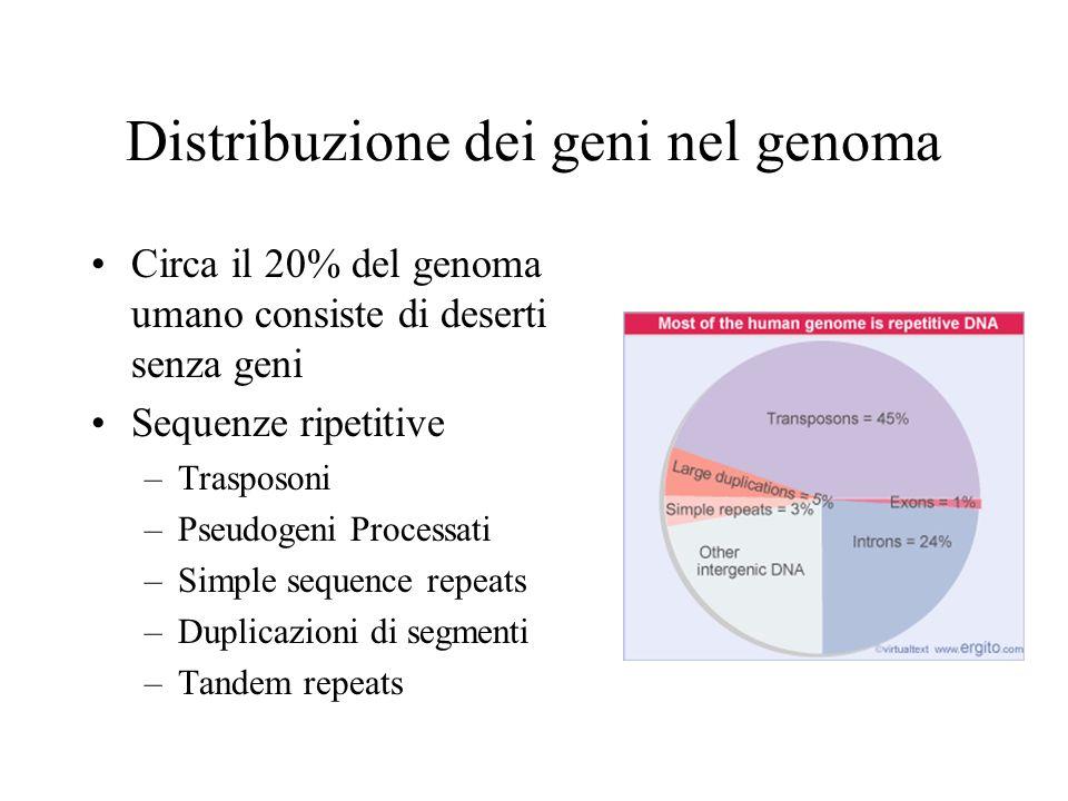 Distribuzione dei geni nel genoma Circa il 20% del genoma umano consiste di deserti senza geni Sequenze ripetitive –Trasposoni –Pseudogeni Processati