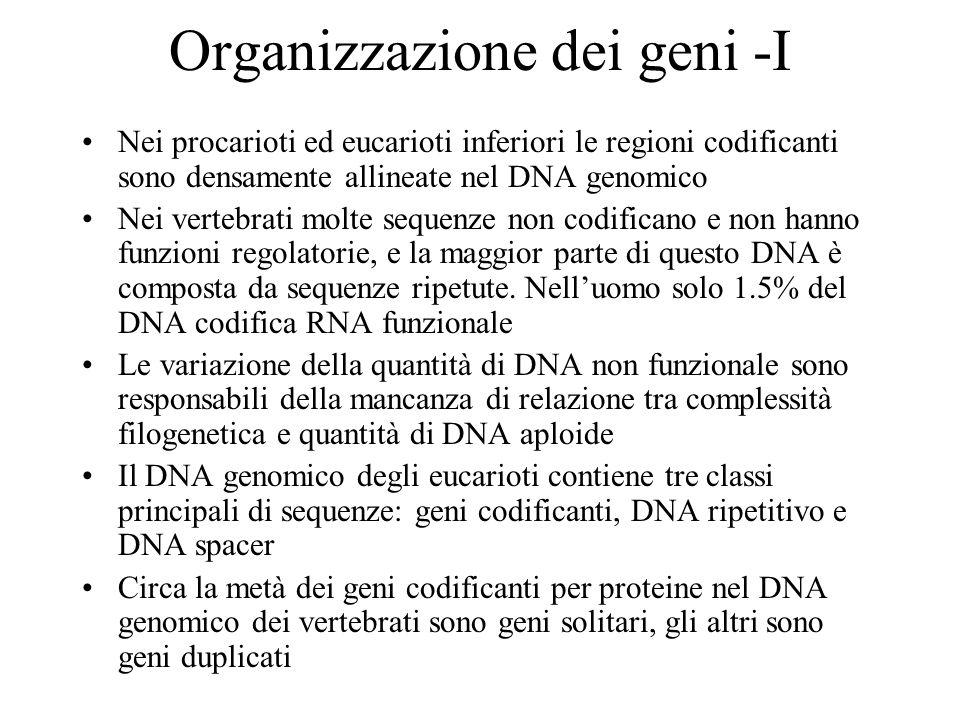 Organizzazione dei geni -I Nei procarioti ed eucarioti inferiori le regioni codificanti sono densamente allineate nel DNA genomico Nei vertebrati molt