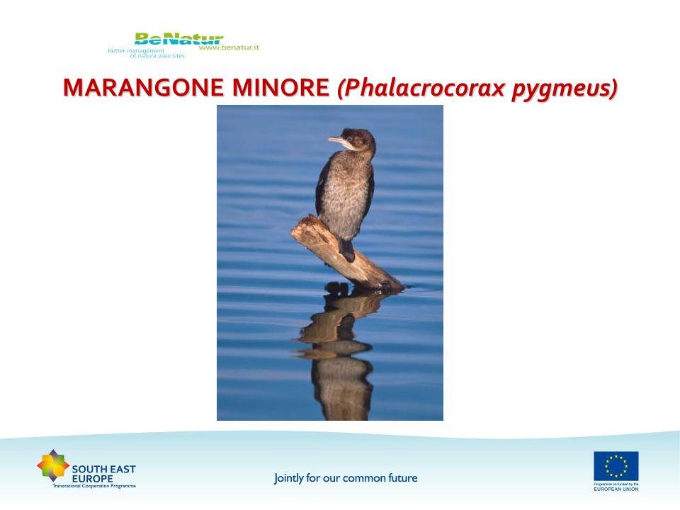 MARANGONE MINORE (Phalacrocorax pygmeus)