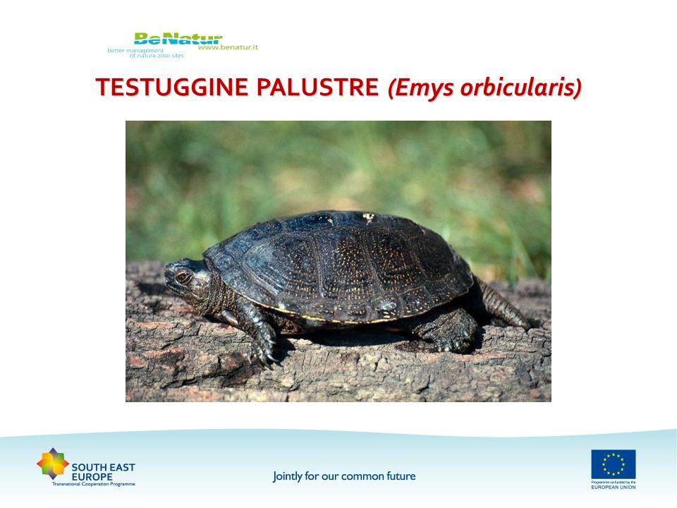 TESTUGGINE PALUSTRE (Emys orbicularis)