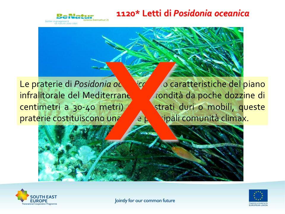 1120* Letti di Posidonia oceanica Le praterie di Posidonia oceanica sono caratteristiche del piano infralitorale del Mediterraneo (profondità da poche