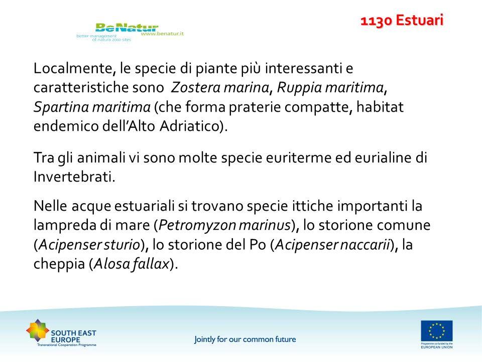 Localmente, le specie di piante più interessanti e caratteristiche sono Zostera marina, Ruppia maritima, Spartina maritima (che forma praterie compatt