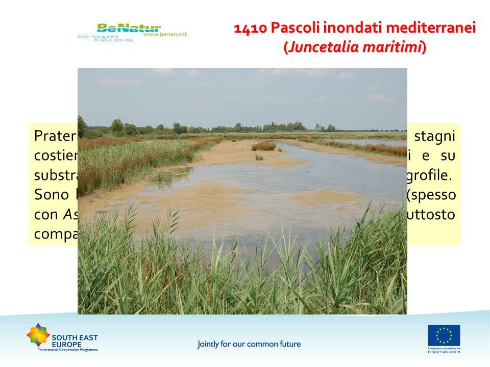 1410 Pascoli inondati mediterranei (Juncetalia maritimi) Prateria mediterranea di piante alofile e subalofile, in stagni costieri debolmente salmastri