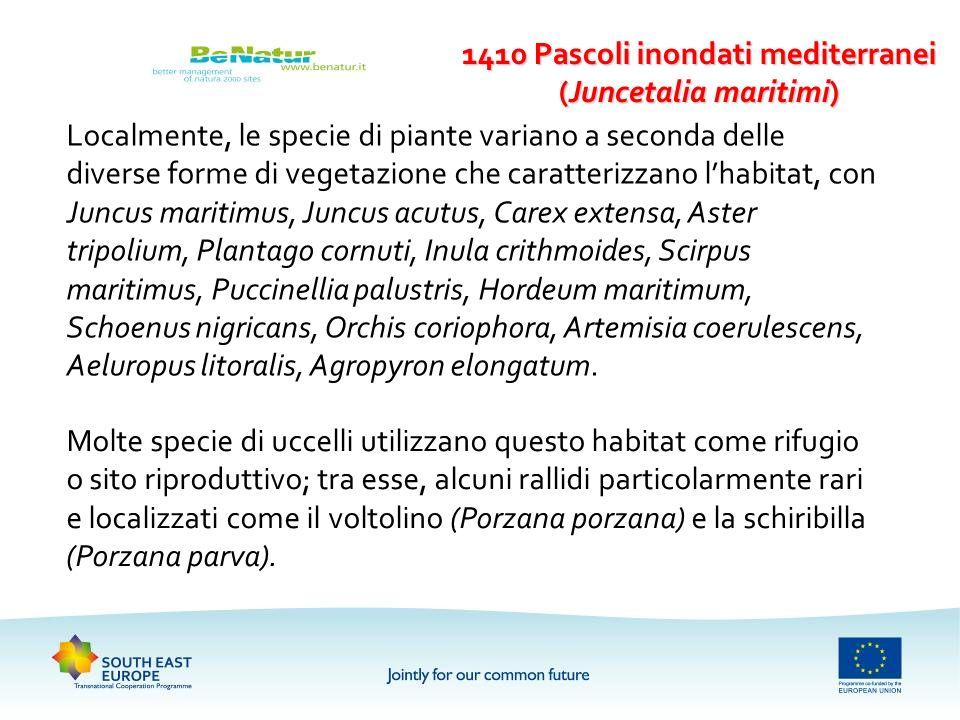 Localmente, le specie di piante variano a seconda delle diverse forme di vegetazione che caratterizzano lhabitat, con Juncus maritimus, Juncus acutus,