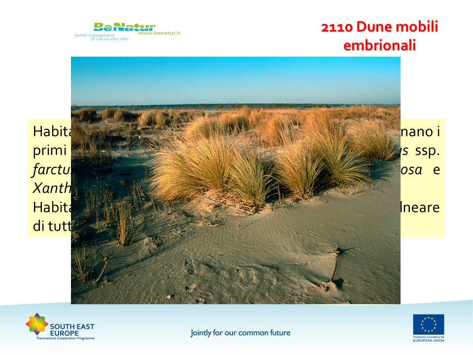 2110 Dune mobili embrionali Habitat formato da piante psammofile perenni, che originano i primi embrioni delle dune, dominato da Elymus farctus ssp. f
