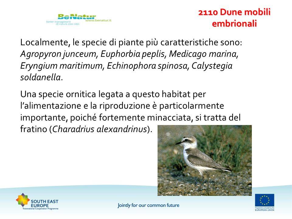 Localmente, le specie di piante più caratteristiche sono: Agropyron junceum, Euphorbia peplis, Medicago marina, Eryngium maritimum, Echinophora spinos