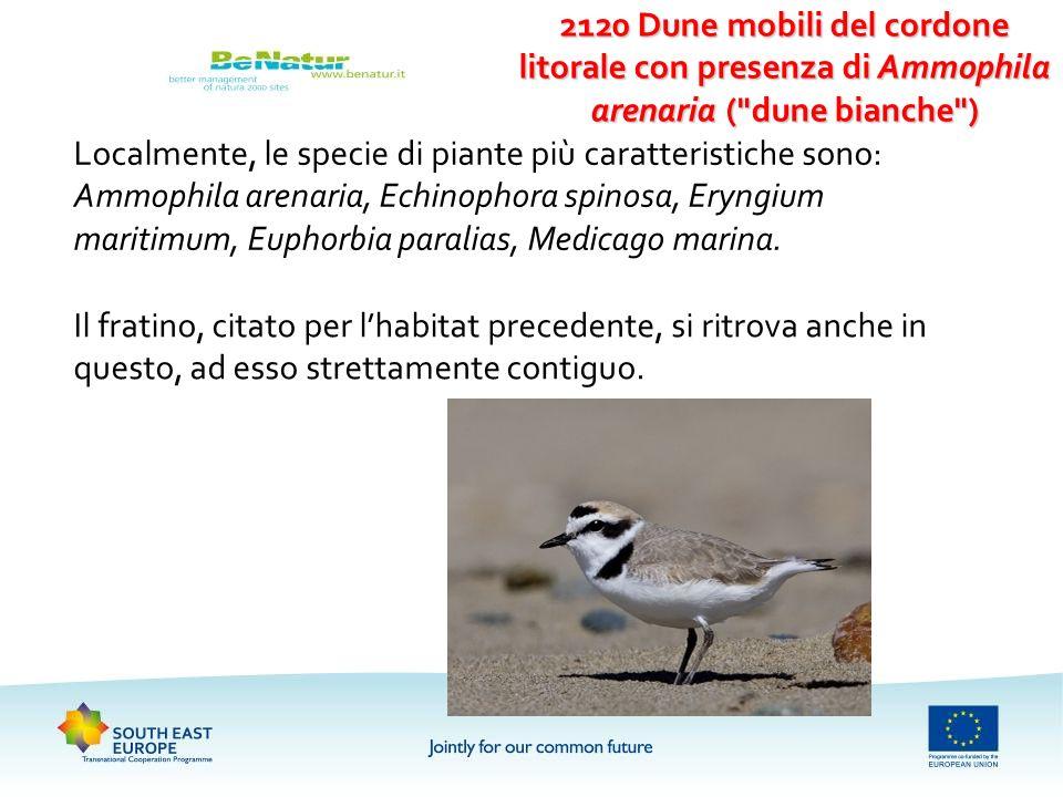 Localmente, le specie di piante più caratteristiche sono: Ammophila arenaria, Echinophora spinosa, Eryngium maritimum, Euphorbia paralias, Medicago ma