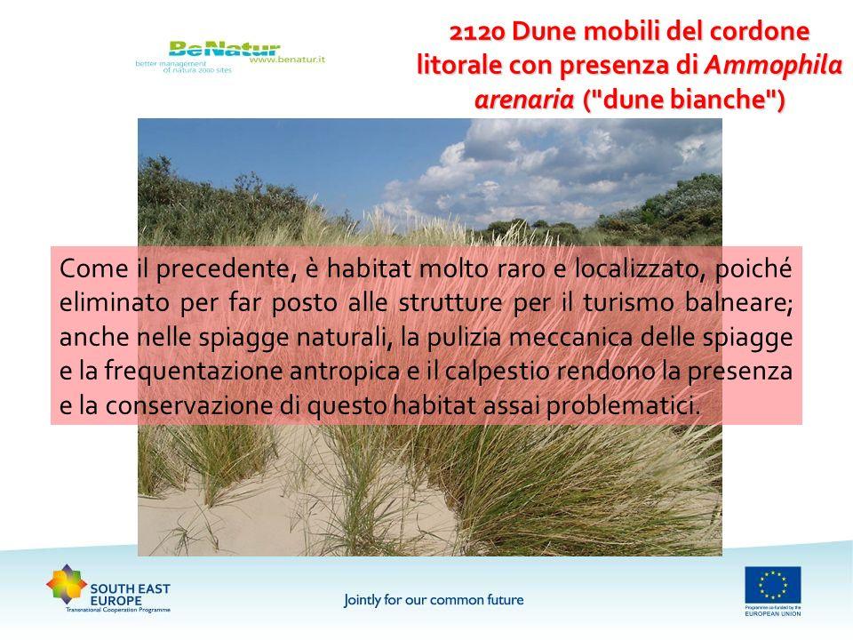 2120 Dune mobili del cordone litorale con presenza di Ammophila arenaria (