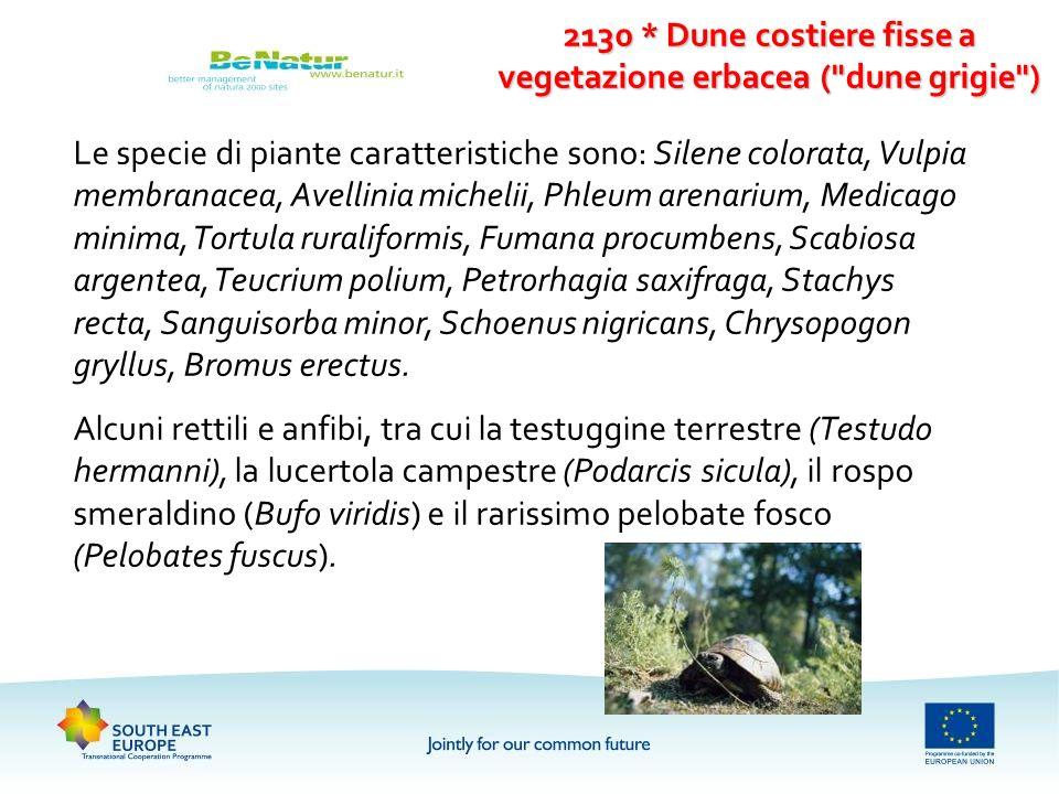 Le specie di piante caratteristiche sono: Silene colorata, Vulpia membranacea, Avellinia michelii, Phleum arenarium, Medicago minima, Tortula ruralifo