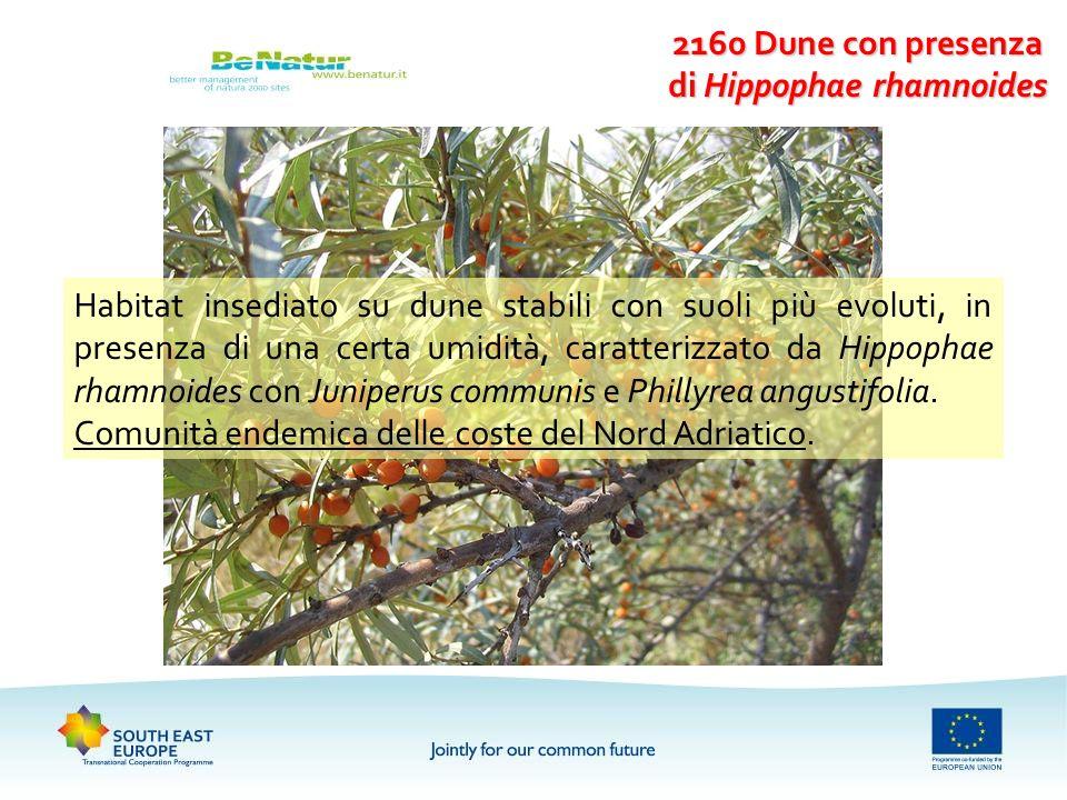 2160 Dune con presenza di Hippophae rhamnoides Habitat insediato su dune stabili con suoli più evoluti, in presenza di una certa umidità, caratterizza