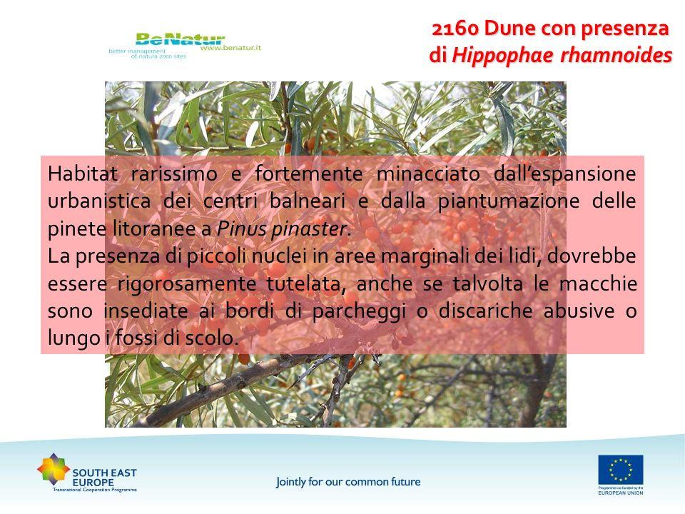 2160 Dune con presenza di Hippophae rhamnoides Habitat rarissimo e fortemente minacciato dallespansione urbanistica dei centri balneari e dalla piantu