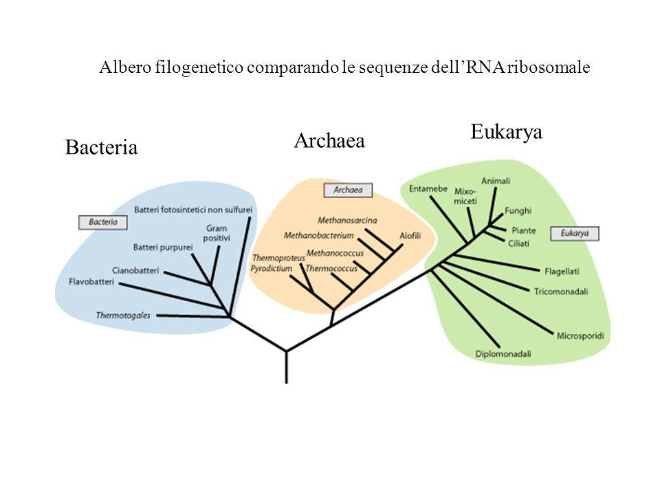 Albero filogenetico comparando le sequenze dellRNA ribosomale Bacteria Archaea Eukarya