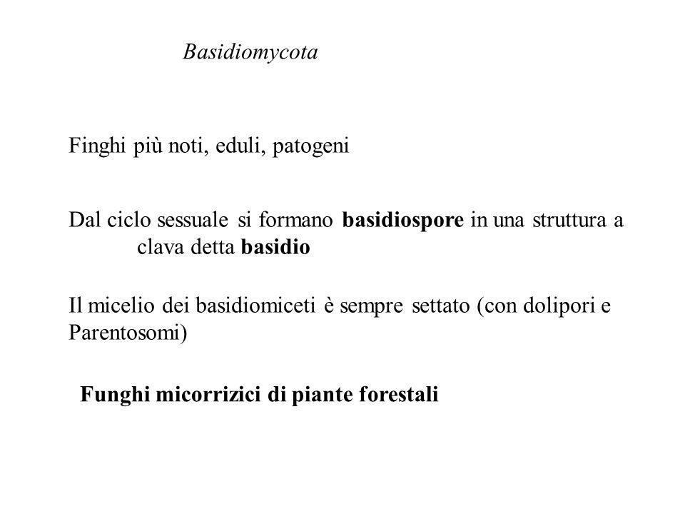 Basidiomycota Finghi più noti, eduli, patogeni Dal ciclo sessuale si formano basidiospore in una struttura a clava detta basidio Il micelio dei basidi