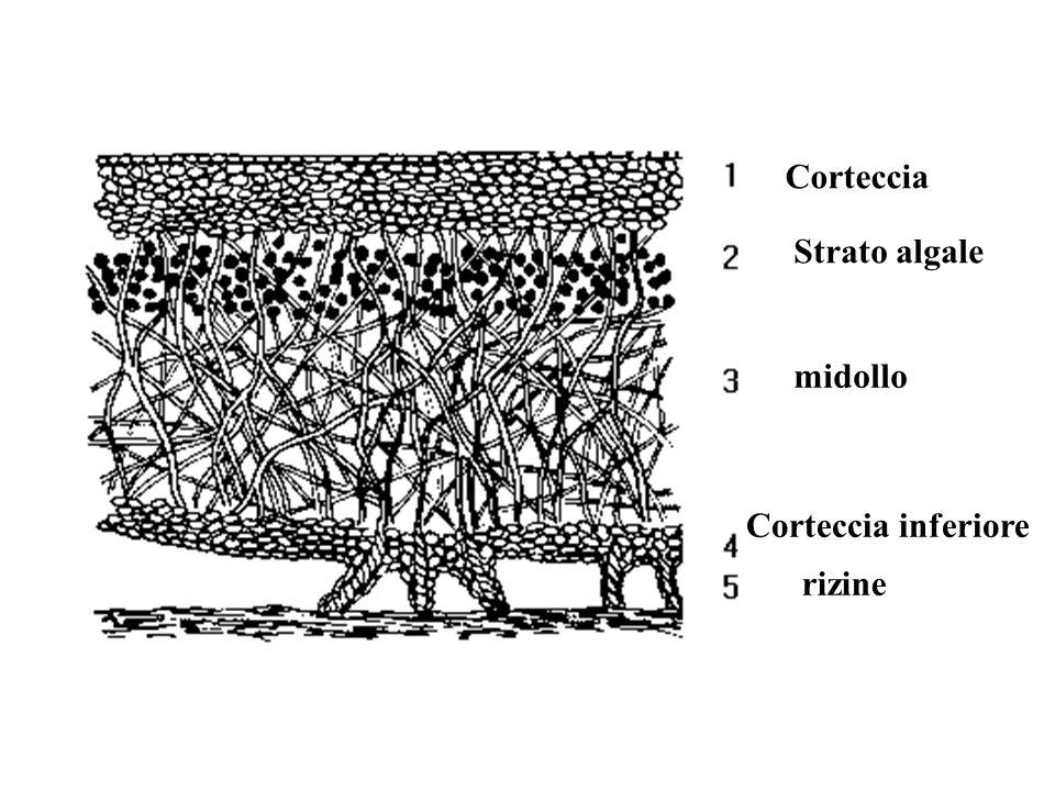 Corteccia Strato algale midollo rizine Corteccia inferiore