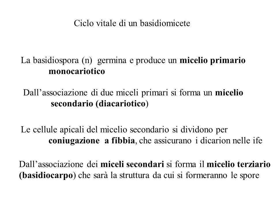 Ciclo vitale di un basidiomicete La basidiospora (n) germina e produce un micelio primario monocariotico Dallassociazione di due miceli primari si for