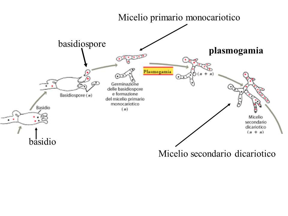 basidio basidiospore Micelio primario monocariotico Micelio secondario dicariotico plasmogamia
