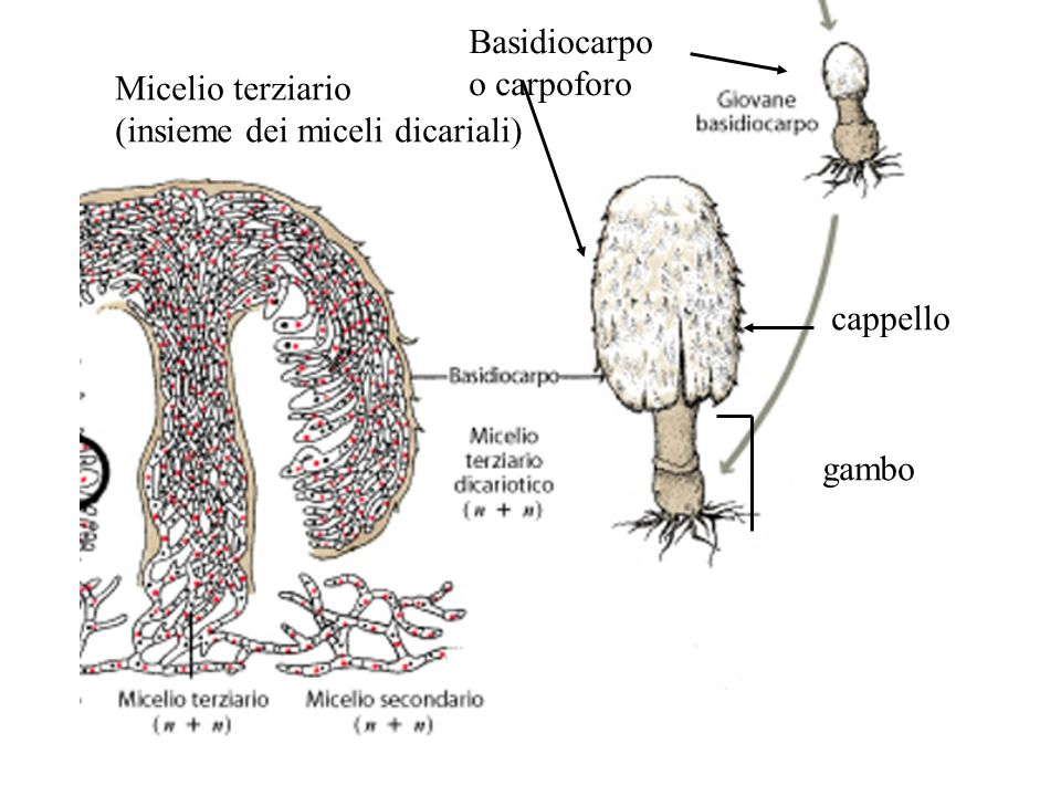 Basidiocarpo o carpoforo cappello gambo Micelio terziario (insieme dei miceli dicariali)