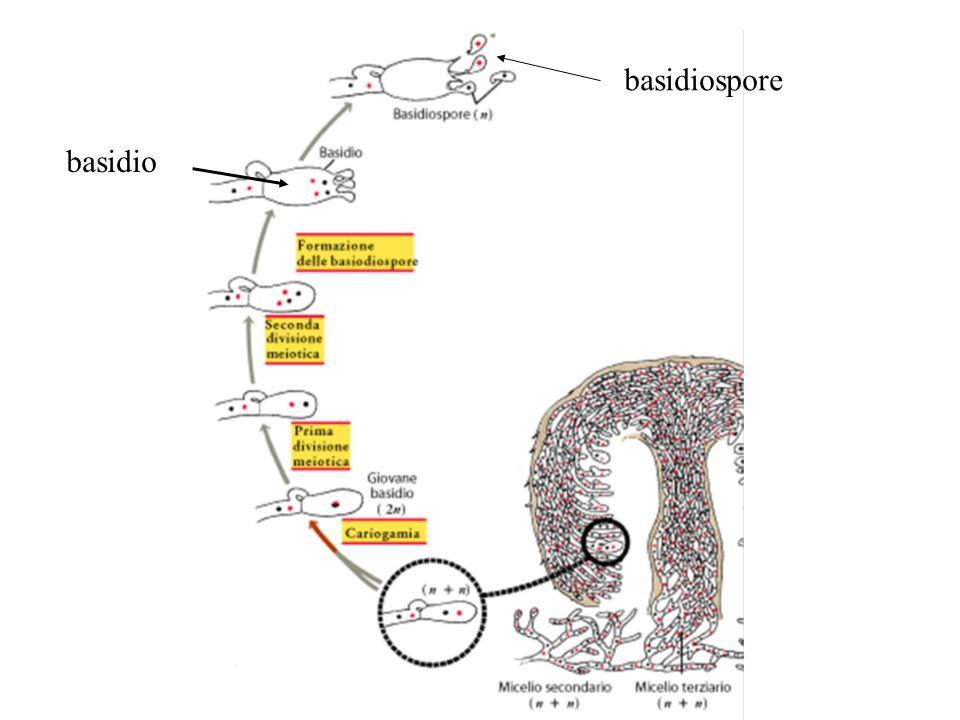 basidiospore basidio