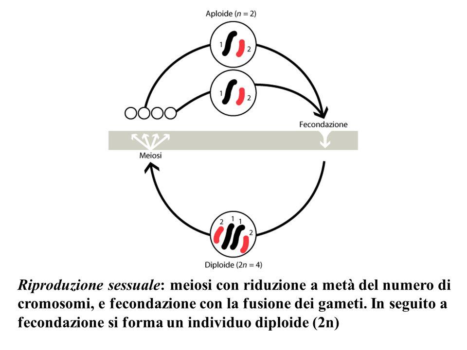 Meiosi zigotica: lo zigote subisce la meiosi e dà 4 cellule aploidi, ognuna di queste dà origine a individui che per differenziazione dà origine a gameti