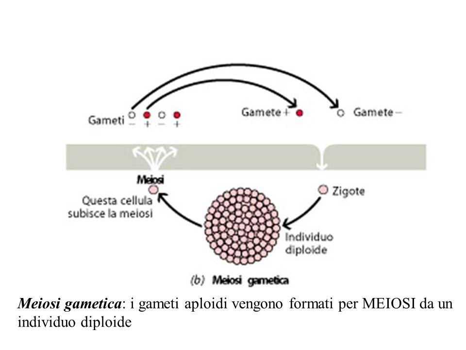 Meiosi gametica: i gameti aploidi vengono formati per MEIOSI da un individuo diploide