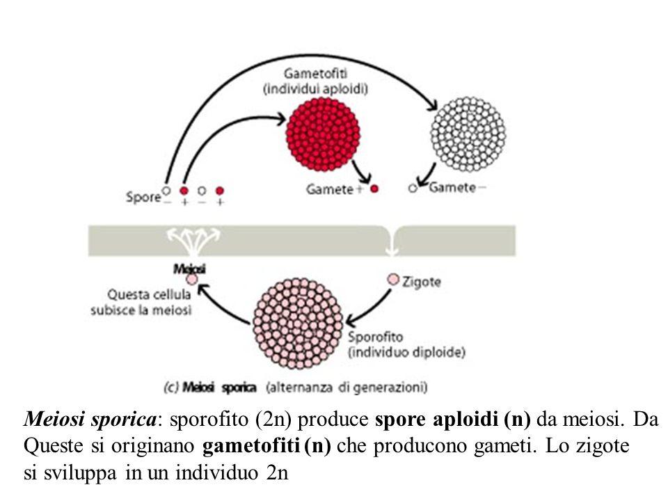 Meiosi sporica: sporofito (2n) produce spore aploidi (n) da meiosi. Da Queste si originano gametofiti (n) che producono gameti. Lo zigote si sviluppa