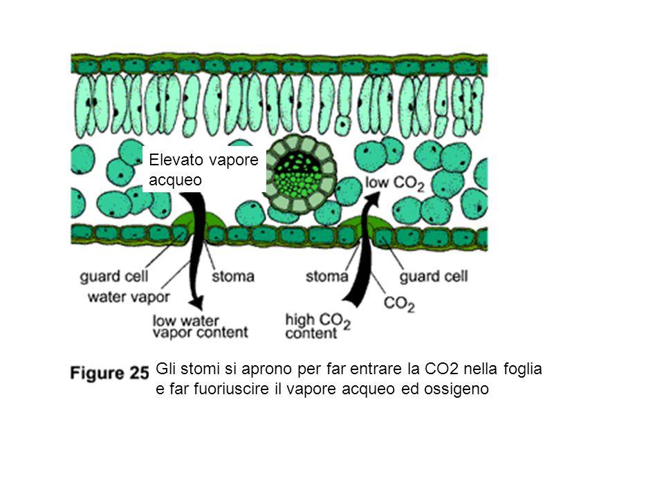 Elevato vapore acqueo Gli stomi si aprono per far entrare la CO2 nella foglia e far fuoriuscire il vapore acqueo ed ossigeno
