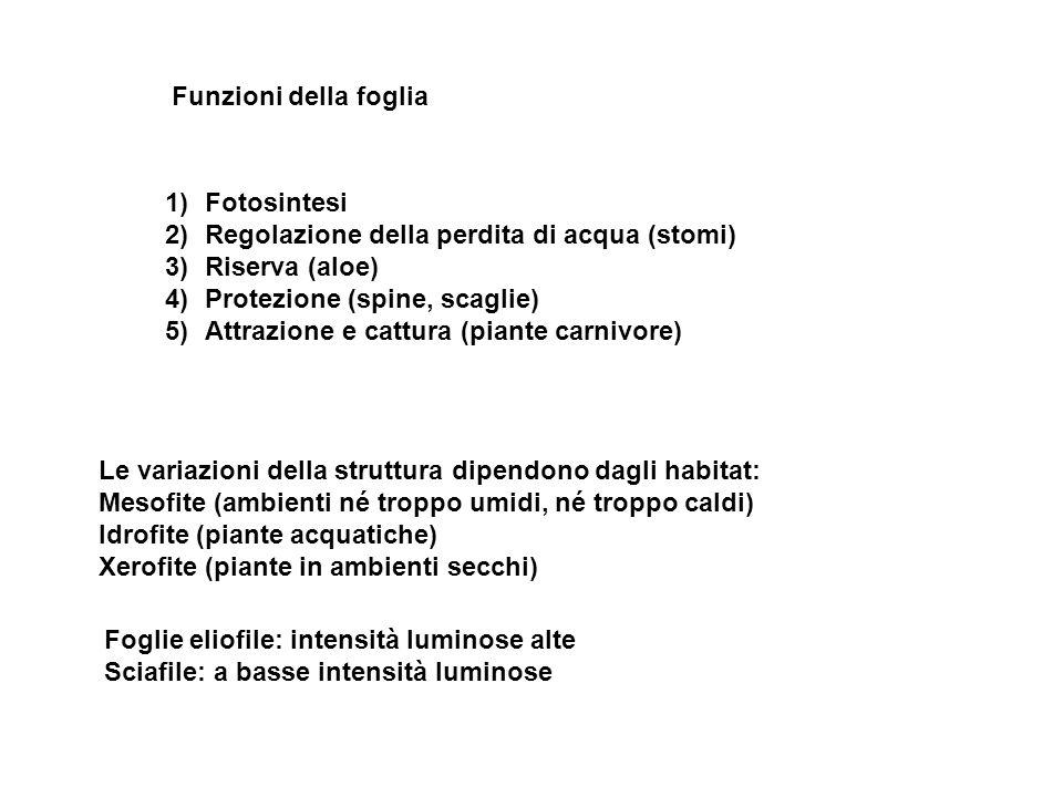 Funzioni della foglia 1)Fotosintesi 2)Regolazione della perdita di acqua (stomi) 3)Riserva (aloe) 4)Protezione (spine, scaglie) 5)Attrazione e cattura