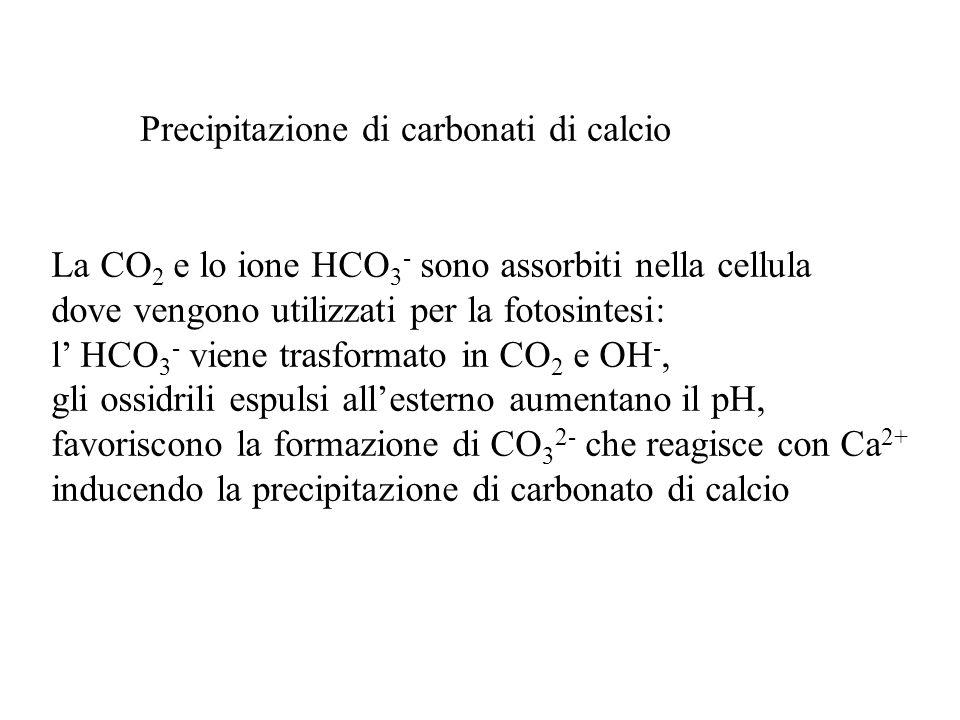 Precipitazione di carbonati di calcio La CO 2 e lo ione HCO 3 - sono assorbiti nella cellula dove vengono utilizzati per la fotosintesi: l HCO 3 - vie