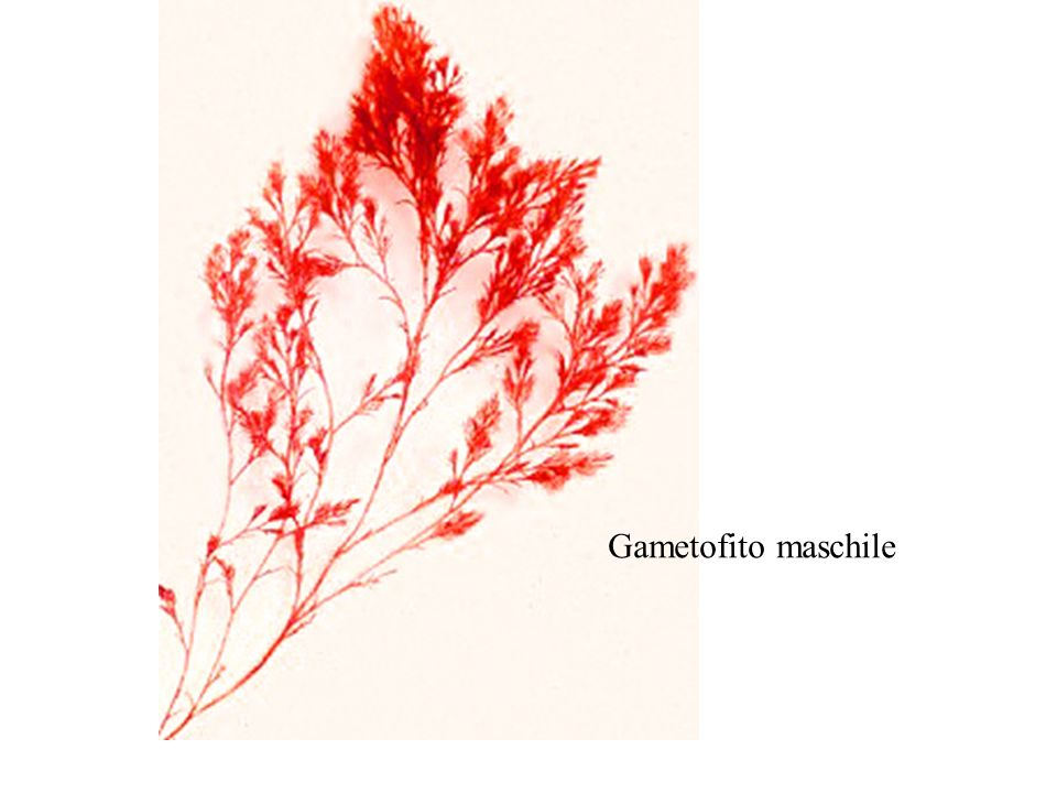 Gametofito maschile