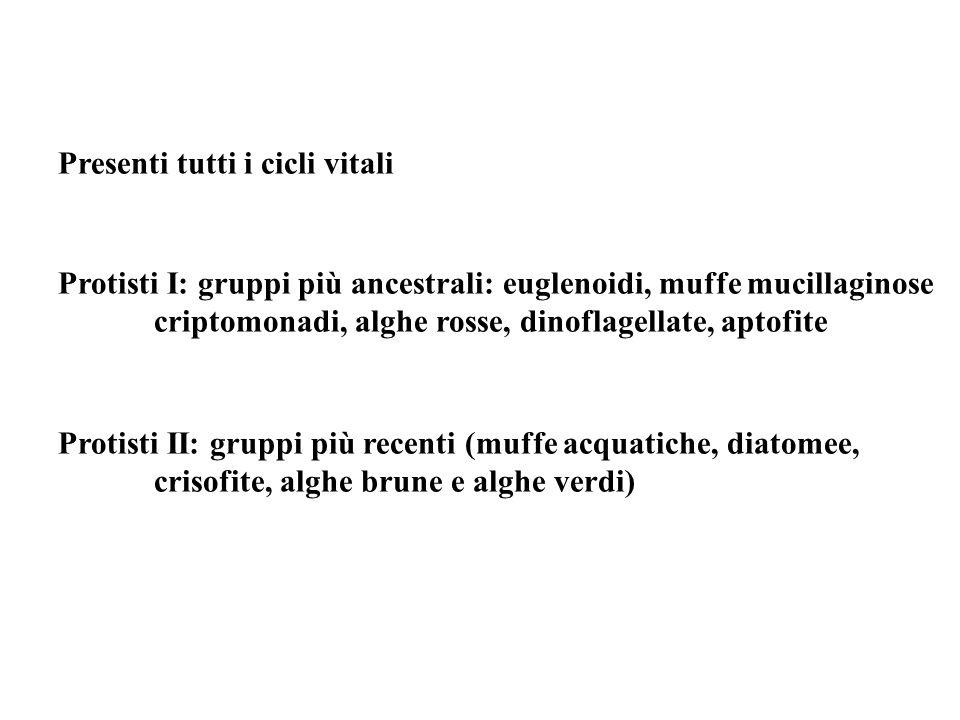 Presenti tutti i cicli vitali Protisti I: gruppi più ancestrali: euglenoidi, muffe mucillaginose criptomonadi, alghe rosse, dinoflagellate, aptofite P